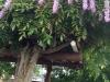 fuji-wisteria
