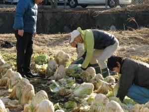 Harvesting Haruna Chinese Cabbage for Shichigahama