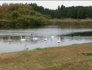 """""""Seven swans a swimming"""" in the lake in front of our house."""